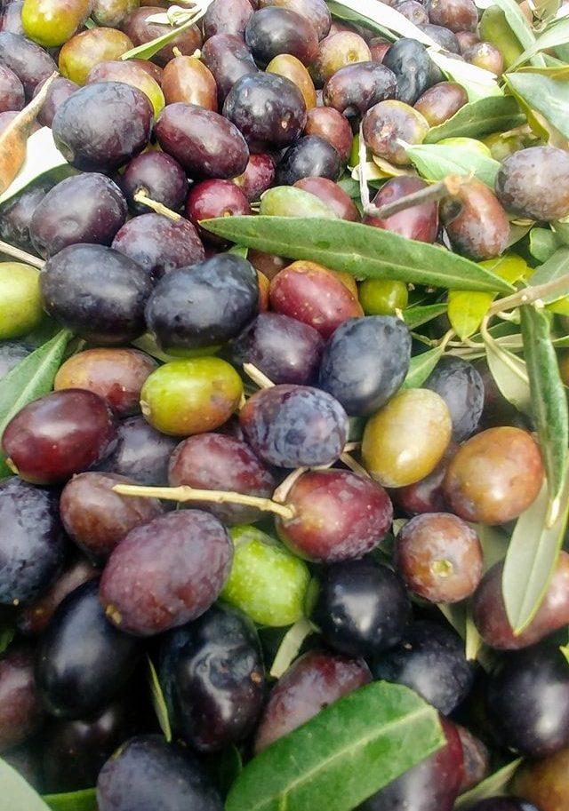 le olive dell'agriturismo maremma mare il maestrale